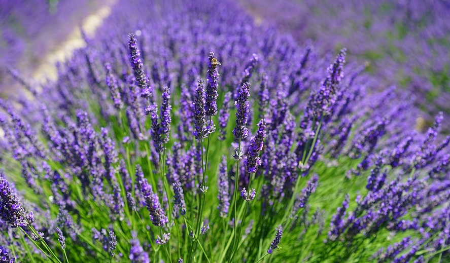 Uporaba sivke kot zdravilne rastline